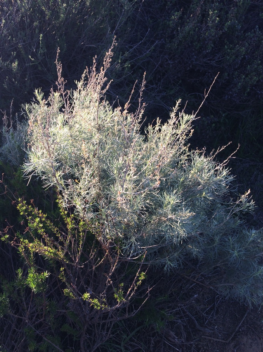 california_sagebrush.jpg